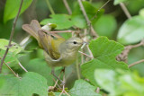 Tennessee Warbler and Worm