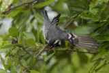 Yellow-throated Warbler Catching a Meal