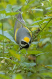 Golden-winged Warbler with Worm