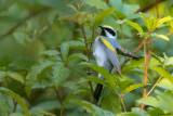 Golden-winged Warbler Foraging
