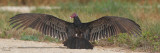 Turkey Vulture Drying off