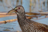 Spotted Rail - food