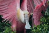 Roseate Spoonbill Hug