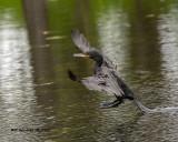 5F1A8174_Cormorant  landing.jpg