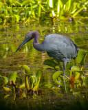 DSCN1053_Little_Blue_Heron_.jpg