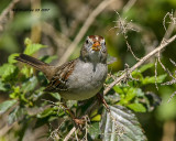 IMG_2112_White crowned_Sparrow_1st_winter_.jpg