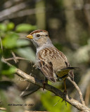 IMG_2113_Whitecrowned_Sparrow_1st_winter_.jpg