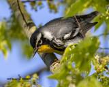 5F1A9139_Yellowthroated_Warbler_.jpg