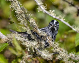 5F1A9172_Black_and_White_Warbler_.jpg