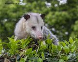 5F1A9253_Opossum_.jpg