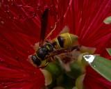 5F1A9315_Pollin_Wasp_.jpg