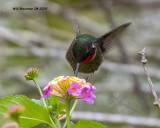 5F1A9434Rubythroated_Hummingbird_.jpg