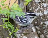 5F1A9538_Black_and_White_Warbler_.jpg
