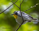 5F1A9691_Yellowthroated_Warbler_.jpg