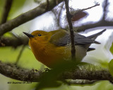5F1A9807_Prothonotary_Warbler_.jpg