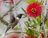 5F1A0094_Rubythroated_Hummingbird_.jpg