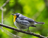 5F1A9680_Yellowthroated_Warbler_.jpg