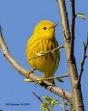 5F1A0169_Yellow_Warbler_.jpg