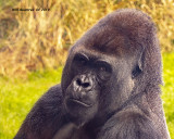 5F1A0333_Gorilla_.jpg