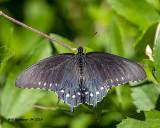 5F1A0468_Pipevine_Swallowtail_.jpg