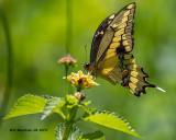 5F1A0473_Giant_Swallowtail_.jpg