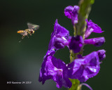 5F1A0579_Hoverfly_and_Porterweed_.jpg