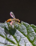 5F1A0582_Hoverfly_and_Porterweed_.jpg