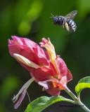 5F1A0599_Horseflylooking_Carpenter_Bee_.jpg