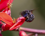 5F1A0604_Southern_Carpenter_Bee_on_Coral_bean_flower_.jpg