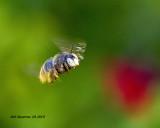 5F1A0623_Horseflylooking_Carpenter_Bee_.jpg