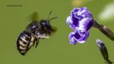 5F1A0627_Horsefly_Like_Carpenter_Bee_.jpg