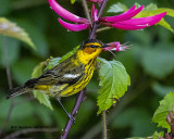5F1A0749_Cape_May_Warbler_.jpg