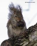 5F1A1060_Gray_Squirrel_.jpg