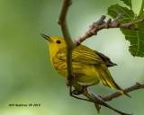 5F1A1119_Yellow_Warbler_.jpg