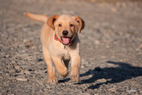 KRETO, an 8-week old male Labrador puppy.  Shooting info - Bued River, Rosario, La Union, Philippines, February 12, 2020, Sony RX10 Mark IV, 600 mm equiv., f/4, ISO 200, 1/1600 sec, continuous focus, manual exposure in available light, hand held, uncropped full frame resized to 1800 x 1200.