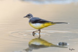 Grey Wagtail at Bued River
