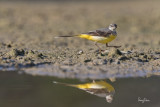 Grey Wagtail (Motacilla cinerea, migrant)