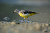 Capturing the Grey Wagtail at a low angle
