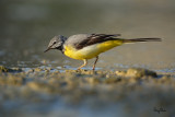 The Grey Wagtail's throat has turned black!