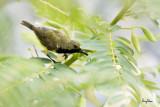 Olive-backed Sunbird (Nectarinia jugularis, resident, male)  Habitat - Common lowland sunbird.  Shooting Info - Bued River, Rosario, La Union, Philippines, June 19, 2020, EOS 5D MIII + EF 400 f/2.8 IS + EF 2x TC III, 800 mm, f/5.6, 1/400 sec, ISO 1250, manual exposure in available light, tripod/fluid head, near full frame resized to 1800 x 1200.
