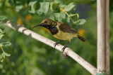 Olive-backed Sunbirds at Bued River