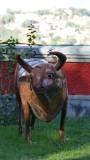 Metal cow sculpture Photography Museum in Antananarivo
