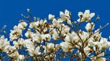 Magnolia Tree Blooming at the San Francisco Botanical Garden