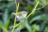 Tennessee Warbler (Oreothlypis peregrina)_High Fields (Corvo)