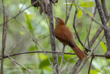 Rusty-backed Spinetail (Cranioleuca vulpina)_near Pantanal Mato Grosso Hotel, south of Poconé (Mato Grosso)