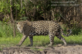 South American Jaguar (Panthera onca)(female)_Cuiaba river south of Porto Jofre (Mato Grosso)