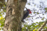 Crimson-crested Woodpecker (Campephilus melanoleucos)(male)_along the Transpantaneira road, south of Poconé (Mato Grosso)