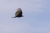 Lesser Yellow-headed Vulture (Cathartes burrovianus)_along the Transpantaneira road, south of Poconé (Mato Grosso)