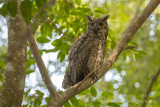 Great Horned Owl (Bubo virginianus) at roosting site_along the Transpantaneira road, south of Poconé (Mato Grosso)