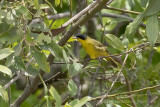 Southern Yellowthroat (Geothlypis velata)(male)_along the Transpantaneira road, south of Poconé (Mato Grosso)